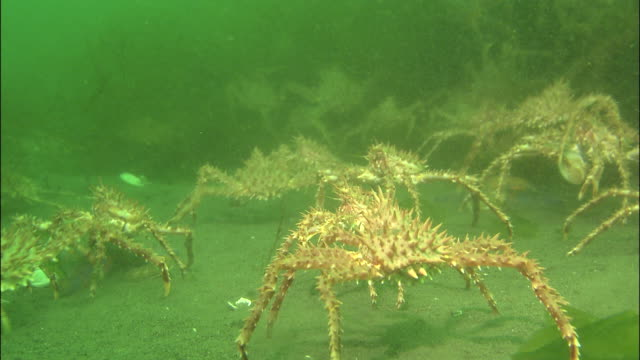 large group of spiky crabs move across seabed, shiretoko, hokkaido, japan, diving shot - crab stock videos & royalty-free footage