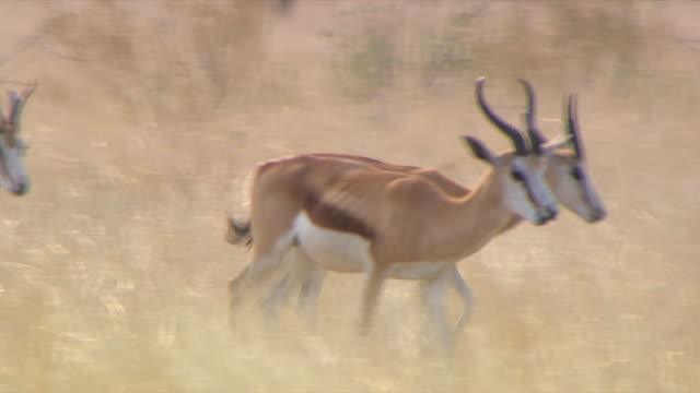 MS TS Large group of spring bok walking through veld at entabeni Private Game Reserve / Limpopo, South Africa