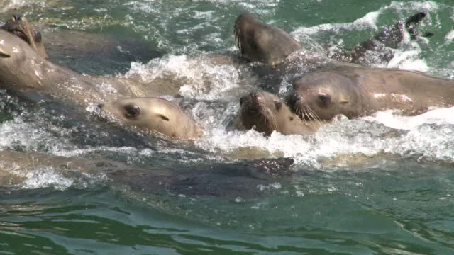 large group of steller sea lions - juneau stock videos and b-roll footage