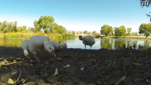 large group of white geese - goose meat stock videos and b-roll footage