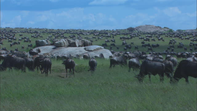 ws large group of wildebeest in long grass with rocky outcrop in background - outcrop stock videos & royalty-free footage