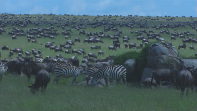 WS large group of wildebeest in long grass with rocky outcrop in foreground
