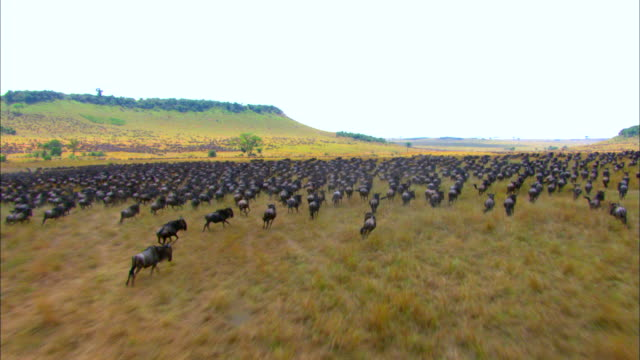 Large group of Wildebeests running in Savannah