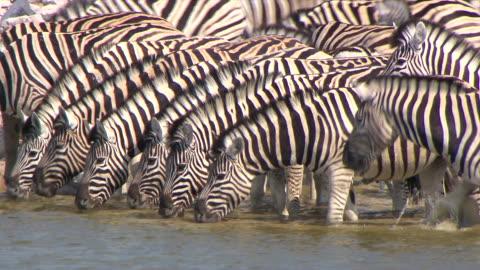 vídeos y material grabado en eventos de stock de cu large group of zebras drinking water / limpopo, south africa - grupo grande de animales