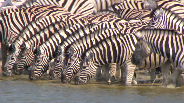 stockvideo's en b-roll-footage met cu large group of zebras drinking water / limpopo, south africa - grote groep dieren