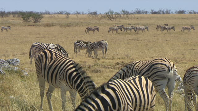ms td large group of zebras eating grass / limpopo, south africa - hooved animal stock videos & royalty-free footage