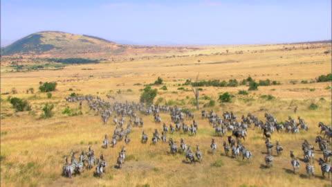 large group of zebras running in savannah - africa stock videos & royalty-free footage