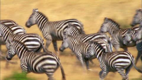 vídeos y material grabado en eventos de stock de large group of zebras running in savannah - grupo grande de animales