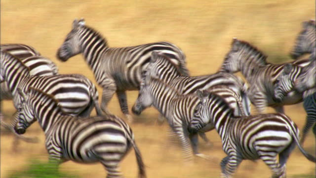 stockvideo's en b-roll-footage met large group of zebras running in savannah - grote groep dieren