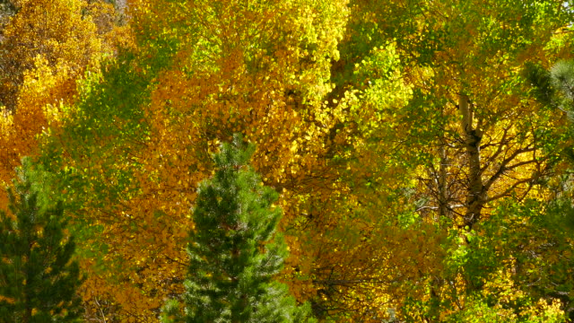 4k - large grove of cottonwood ash and pine trees leaves turning autumn colors blowing in the breeze - cottonwood tree stock videos and b-roll footage