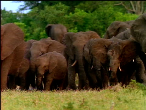 a large herd of african elephants walk through the grass. - tierische nase stock-videos und b-roll-filmmaterial