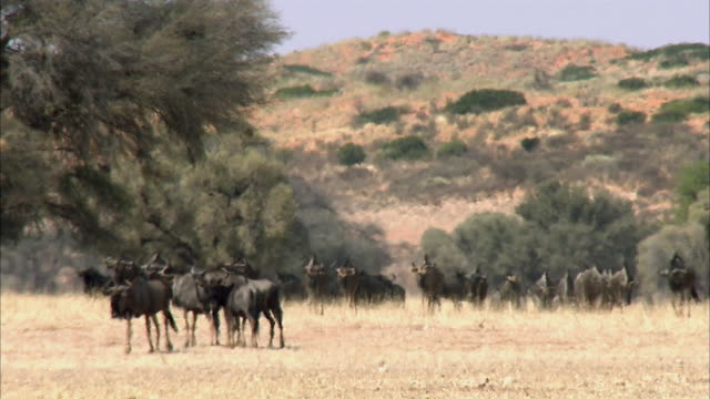 WS Large herd of Blue Wildebeest (Connochaetes taurinus) crossing desert landscape in hot day, Kgalagadi Transfrontier Park, Northern Cape, South Africa