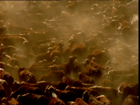 Large herd of cattle jostle in pen on dusty ranch, Alice Springs, Australia