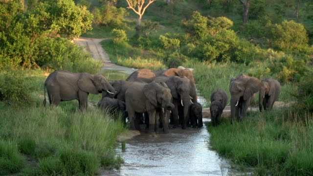 Large herd of elephants walking through a river causeway in the late afternoon, Kruger National Park, South Africa