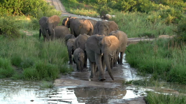 vídeos y material grabado en eventos de stock de large herd of elephants walking through a river causeway in the late afternoon, kruger national park, south africa - animales de safari