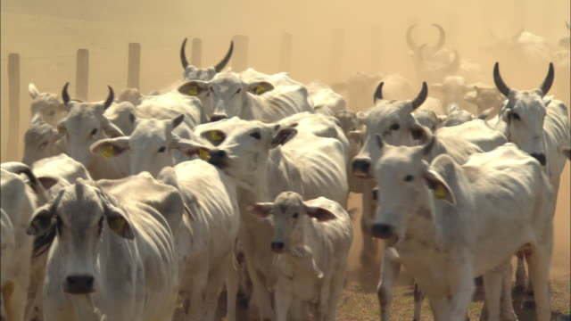 vídeos de stock e filmes b-roll de ms large herd of nelore cattle walking along fence on dirt road / pantanal, mato grosso do sul, brazil - gado animal doméstico