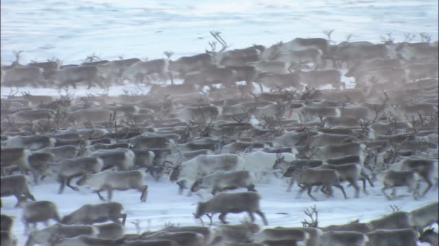 large herd of reindeer move across snowfield abisko sweden - herde stock-videos und b-roll-filmmaterial