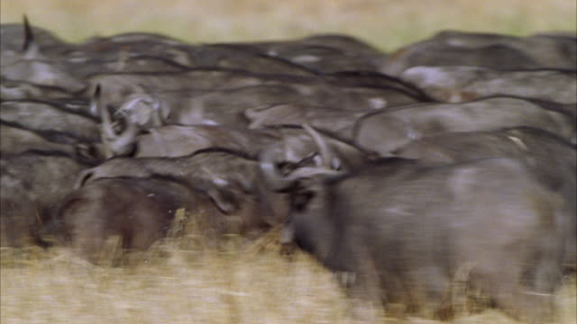 ms pan large herd of water buffalo running through tall grass of african bush / unspecified - herde stock-videos und b-roll-filmmaterial
