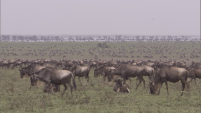 Large herd of wildebeest on savannah Available in HD.
