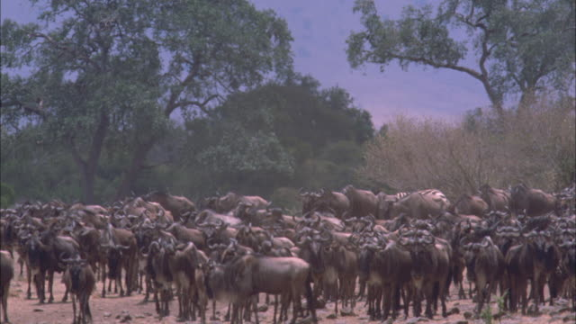 a large herd of wildebeests and a single zebra gather along a river bank in serengeti national park. - water buffalo stock videos & royalty-free footage