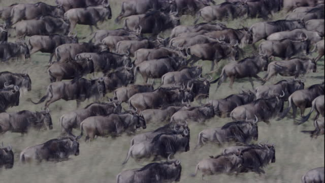 A large herd of wildebeests gallops across the plains of Masai Mara, Kenya. Available in HD.