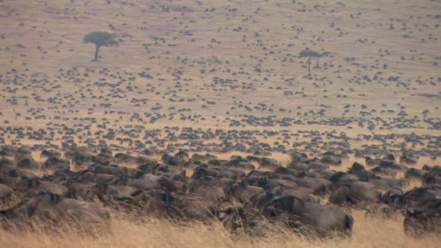 MS, Large herd of wildebeests (Connochaetes taurinus) in savanna, Masai Mara, Kenya