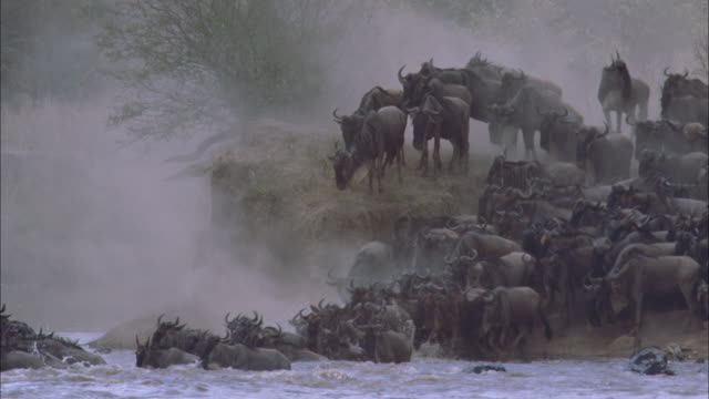 a large herd of wildebeests jump into a river and swim across it in serengeti national park. - plain stock videos & royalty-free footage