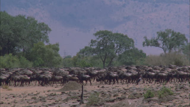 a large herd of wildebeests walk in a steady direction with trees and hills in the background. - hoof stock videos & royalty-free footage