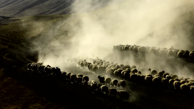 large herds of sheep raise clouds of dust and various shots of the daily life of breeders experiencing their last days in the highlands as the winter... - shepherd stock videos & royalty-free footage