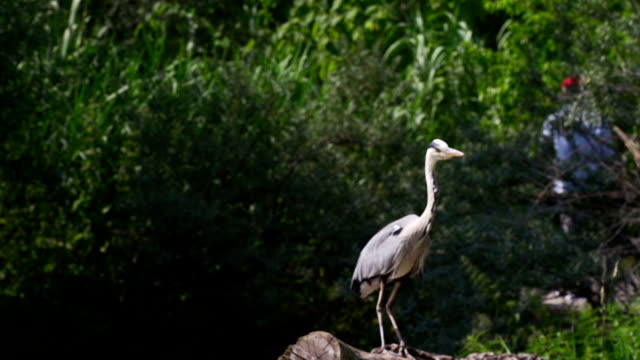 large heron take away in slow motion - great blue heron stock videos and b-roll footage