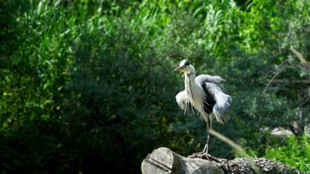 large heron take away slow motion - great blue heron stock videos and b-roll footage