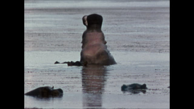 ws large hippopotamus bull territorial display in river opening mouth wide arching head back td ws elephant walking water edge vs animal drinking... - head back stock videos & royalty-free footage