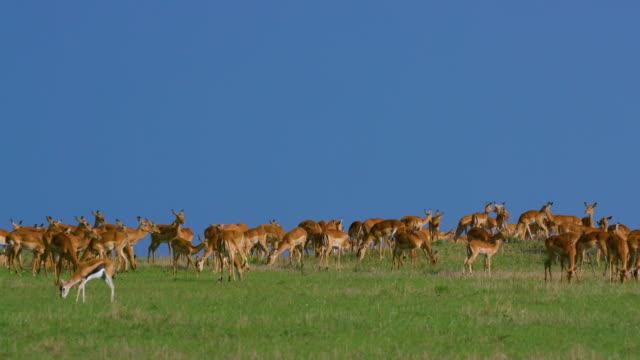 Large Impala Herd On Mound Maasai Mara, Kenya, Africa