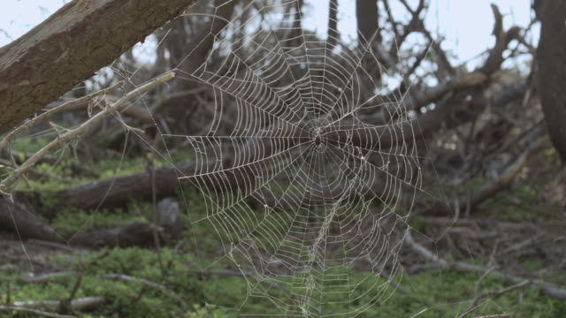 stockvideo's en b-roll-footage met montage large, intricate spider web hanging from a fallen beam, dead trees beyond / hawaii, united states - letterbox format