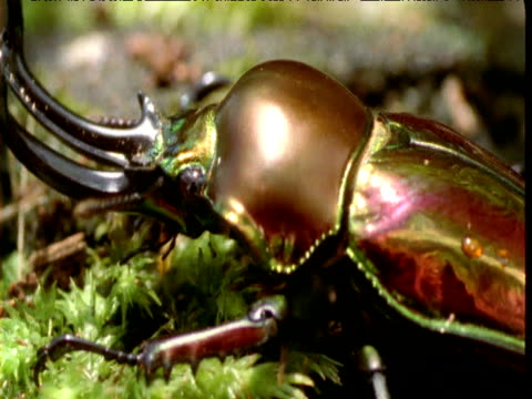 large iridescent stag beetle clambers over forest floor, queensland - animal exoskeleton stock videos & royalty-free footage