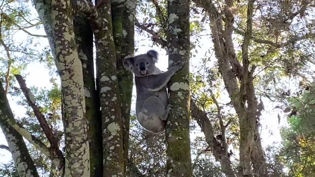 large koala climbs tree - claw stock videos & royalty-free footage