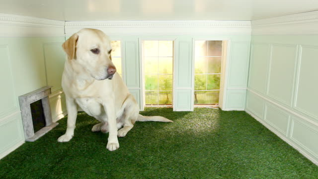 stockvideo's en b-roll-footage met large labrador in a small room - groot
