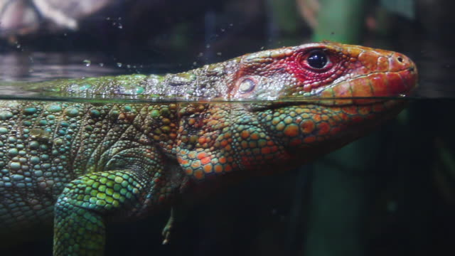 large lizard swimming along the tank - lizard stock videos and b-roll footage