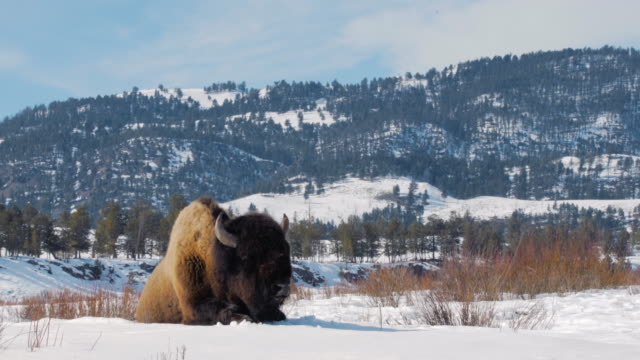large male bison resting on snow in yellowstone. wide shot. color graded and raw file. - american bison stock videos & royalty-free footage