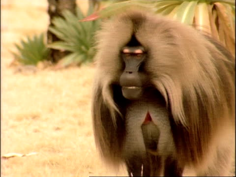 mcu large male gelada baboon grimacing then sitting and relaxing, ethiopia, africa - 攻撃的点の映像素材/bロール
