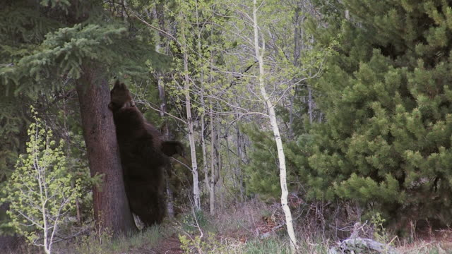 ms large male grizzly (ursus arctos) scent marking a pine tree along the trail - mt moran stock videos & royalty-free footage