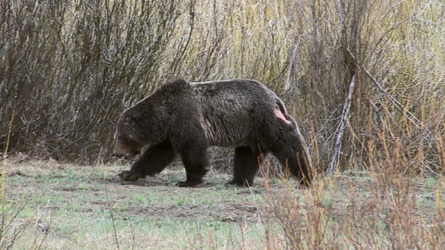MS large male grizzly (Ursus arctos) walking along the river bank after a fight during mating season