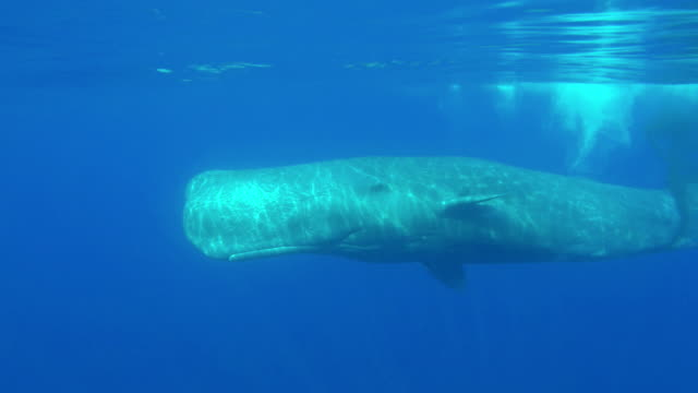 large male sperm whale swimming towards the camera with it's mouth open most likely for cooling in the warm waters of the mediterranean sea during summer time. it then turns away and defecates as it swims off into the blue. - sperm whale stock videos & royalty-free footage