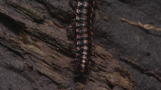 a large millipede (polydesmida) crawls across a fallen tree trunk in the el triunfo biosphere reserve. - log stock videos & royalty-free footage