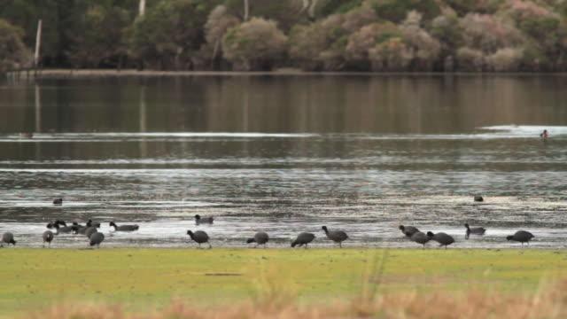 stockvideo's en b-roll-footage met ws large mob of eurasian coot (fulica atra) on edge of wet land   / narawntapu national park, tasmania, australia - koet