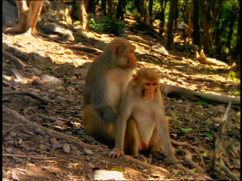 Large monkey + small monkey sitting together in forest / suddenly jump up + start mating  / Cayo Santiago, Puerto Rico