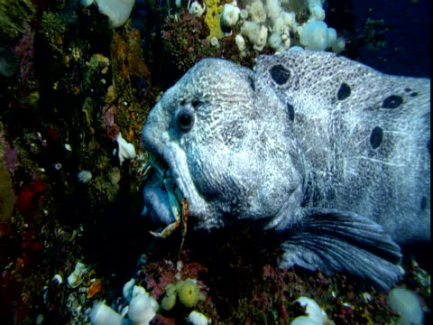 A large moraine eel spits out a crab onto a coral reef, then takes it back into its mouth.