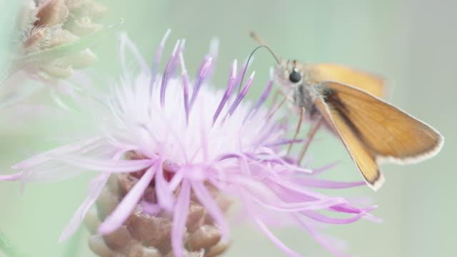 große motte ernährt sich von einer wildblume im schwarzwald - insekt stock-videos und b-roll-filmmaterial