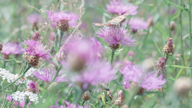large moth on a wildflower in the black forest - wildflower stock videos & royalty-free footage