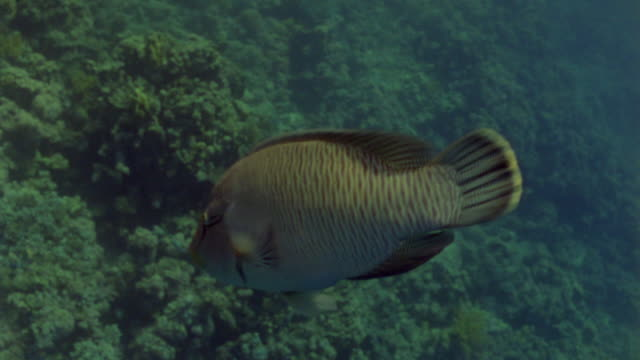 ms ts large napoleon fish / egypt - humphead wrasse stock videos & royalty-free footage